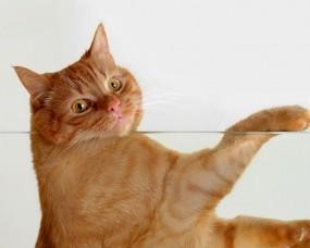 Обои Рыжий кот за стеклом: Стекло, Кот, Рыжий, Кошки