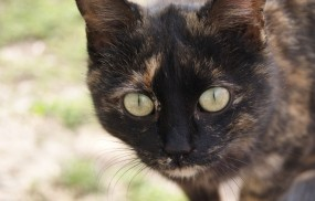 Обои Сероглазый кот: Глаза, Кот, Усы, Кошки