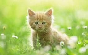 Обои Котёнок в цветах: Взгляд, Котёнок, Луг, Кошки