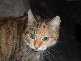 Обои Зеленоглазая кошка: Глаза, Кошка, Животное, Кошки