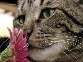 Обои Кот с цветком: Цветок, Кот, Весна, Кошки