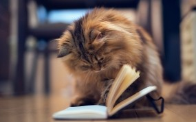 Обои Грамотная кошка: Кошка, Книга, Кошки