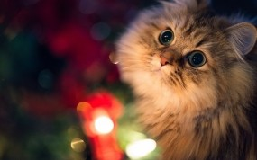 Обои Смотрящий кот: Взгляд, Кот, Огоньки, Кошки