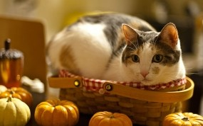 Обои Кошка в лукошке: Кошка, Стол, Кошки