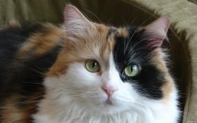 Обои Красивая кошка: Кошка, Животное, Кошки