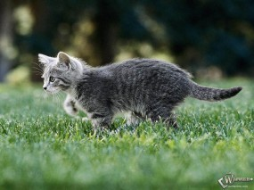 Обои Котенок охотник: , Кошки