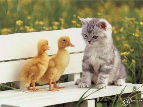 Обои Котенок и гуси: , Кошки