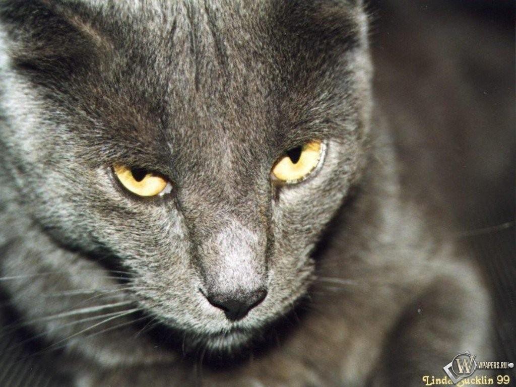 Грозный взгляд кота 1024x768