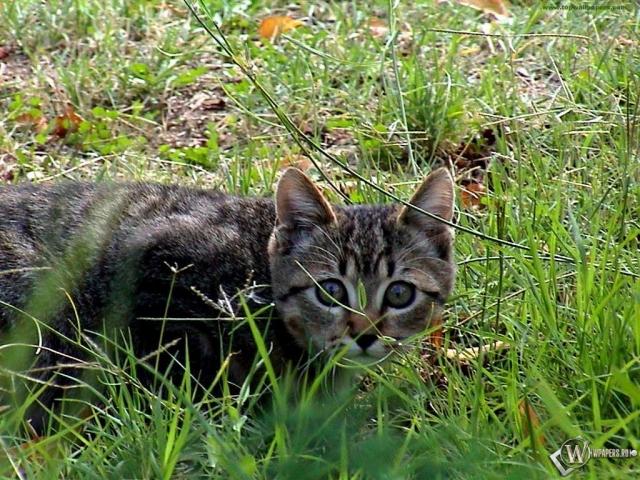 Охотничий кот