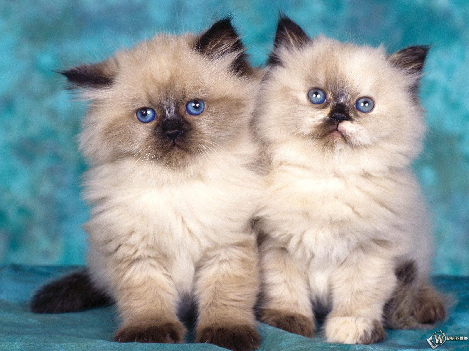 Два пушистых котенка 1600x1200