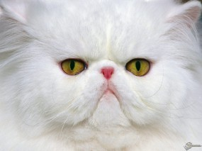 Обои Недовольный кот: Взгляд, Морда, Персидский кот, Недовольство, Кошки