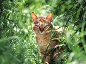 Обои Опасный взгляд кота: , Кошки