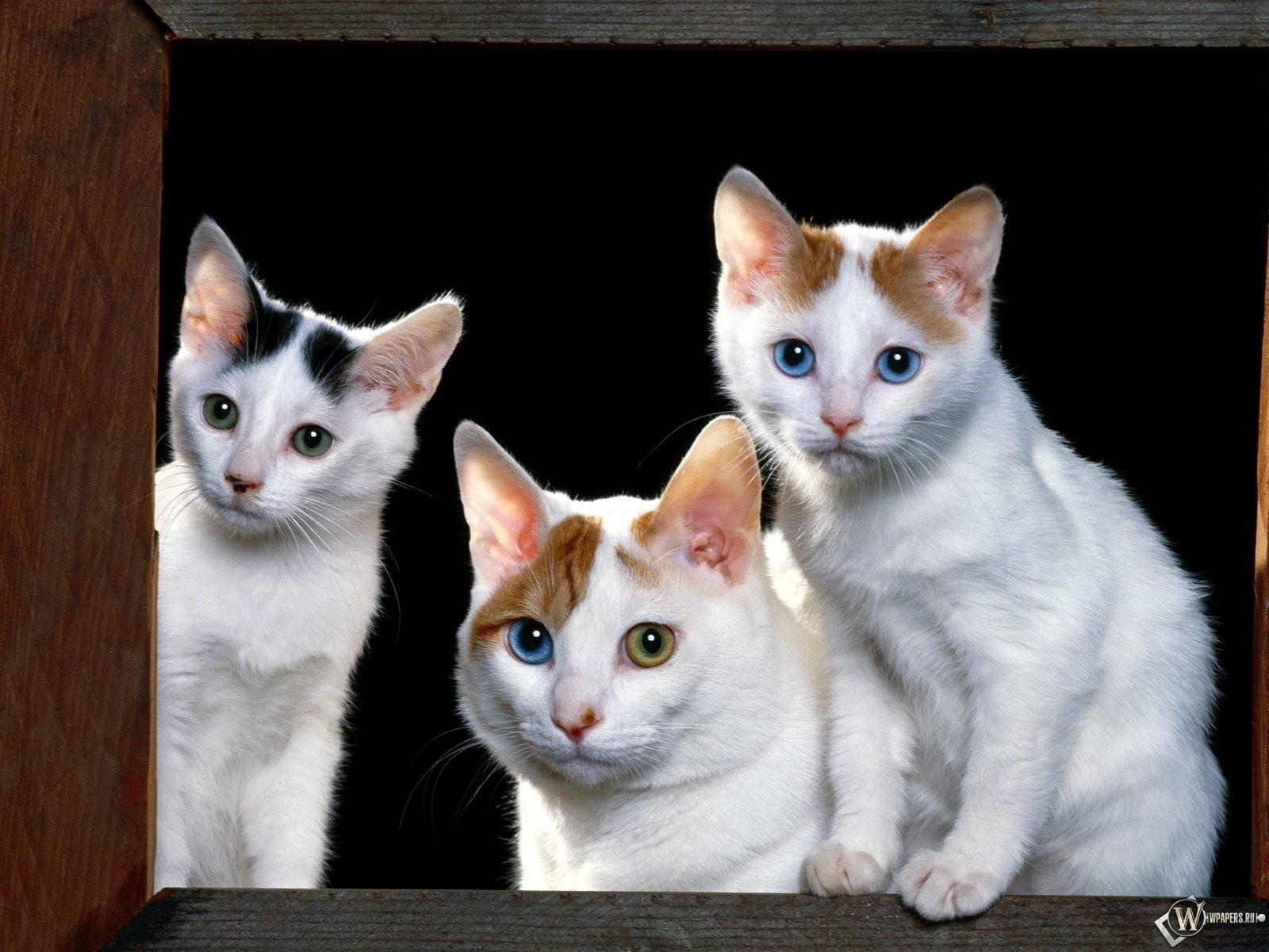 Разноглазые коты 1600x1200