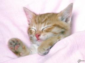Обои Котенок под одеялом: , Кошки