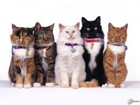Обои Пять очаровательных кошек: , Кошки