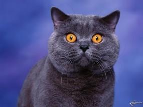 Обои Глазастый кот: , Кошки