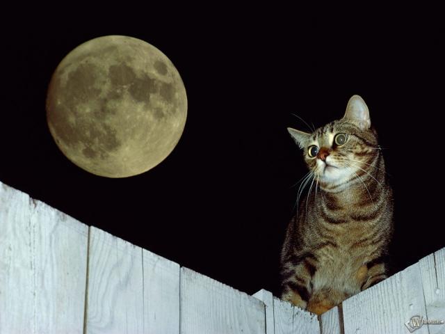Кот при луне