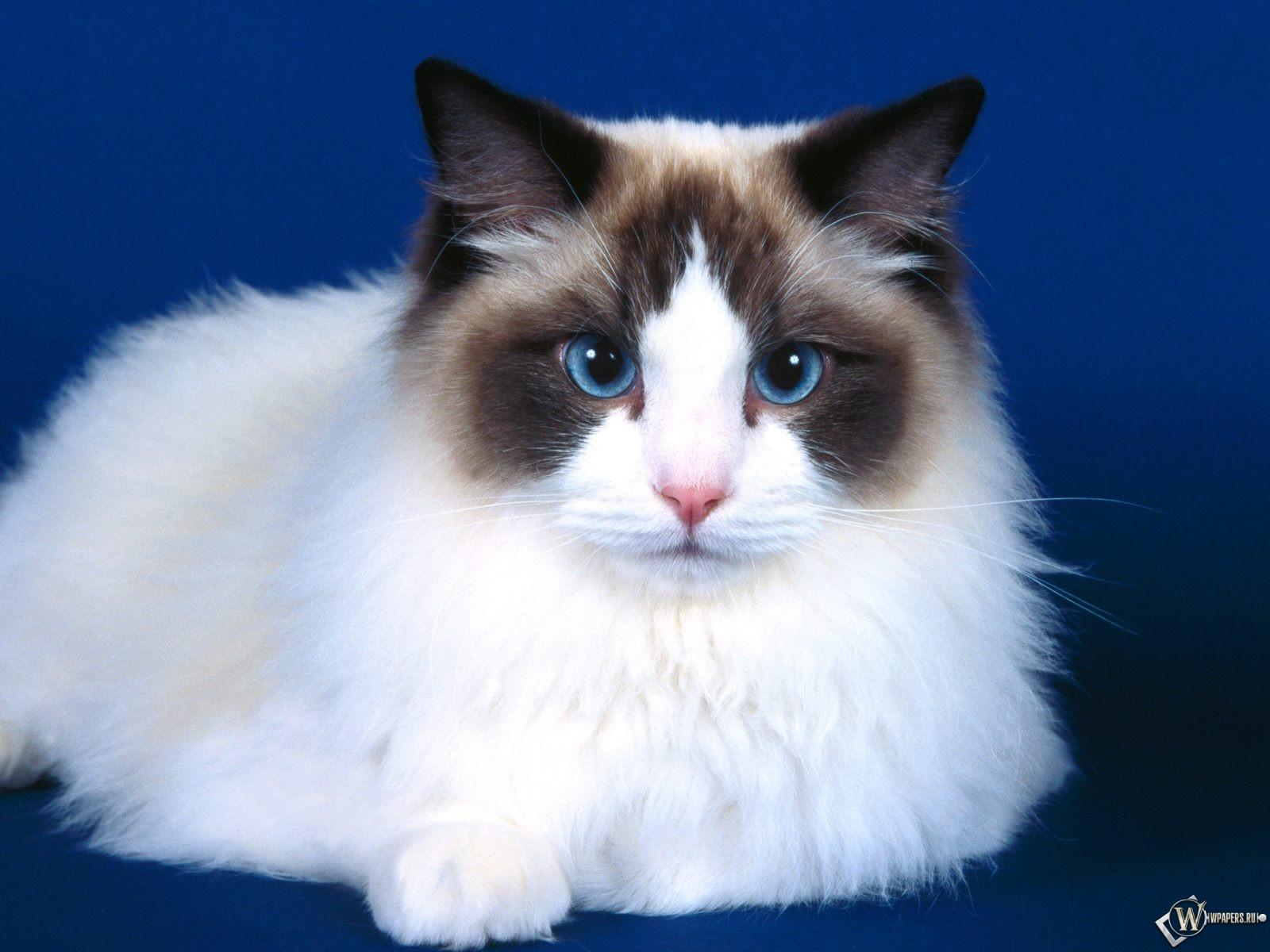 Голубоглазый котик 1600x1200