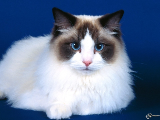 Голубоглазый котик