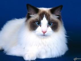 Обои Голубоглазый котик: Кот, Кошка, Кошки