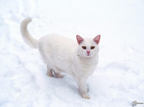 Обои Кошечка на снегу: , Кошки