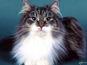 Обои Хитрый кошак: , Кошки