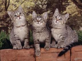 Обои Три серых котенка: , Кошки