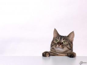 Обои Котяра на рабочем столе: , Кошки
