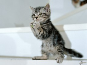 Обои Котенок чтото поймал: , Кошки
