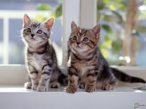 Обои Котята на окошке: Взгляд, Окно, Котята, Кошки