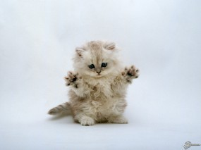 Обои Пушистый котенок: , Кошки