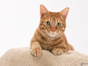 Обои Рыжий кот : , Кошки