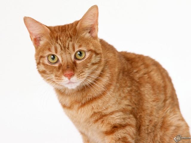 Рыжий кот - скачать обои для рабочего стола