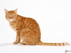 Обои Рыжий кот: , Кошки