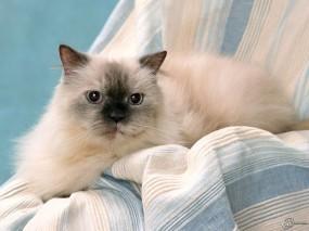 Обои Пушистый кот: , Кошки