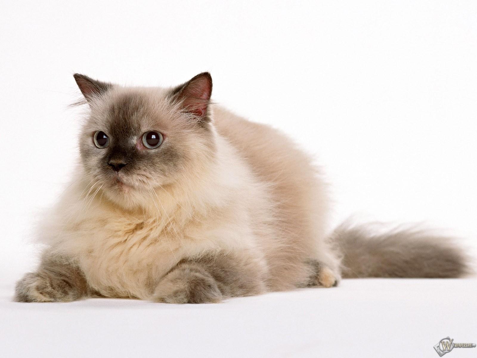 Пушистый кот 1600x1200