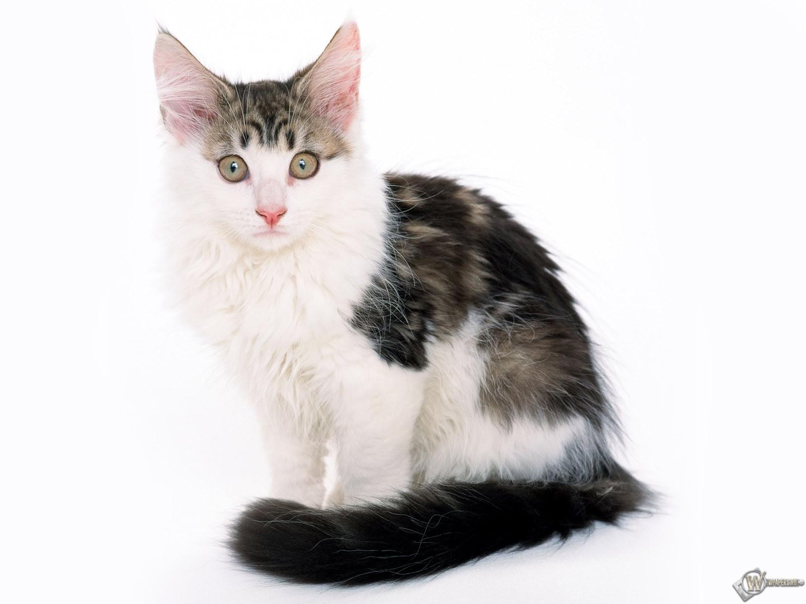 Успуганный котик 1600x1200