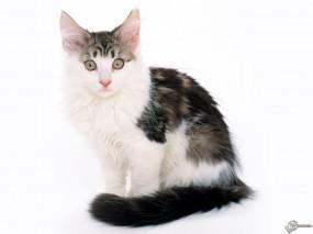Обои Успуганный котик: , Кошки