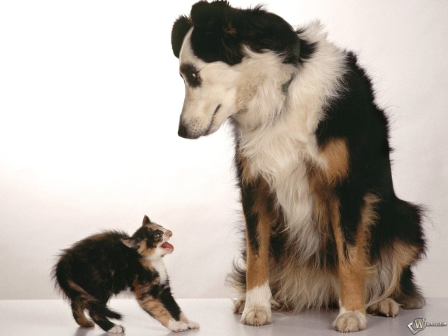 Котенок испугался собачки