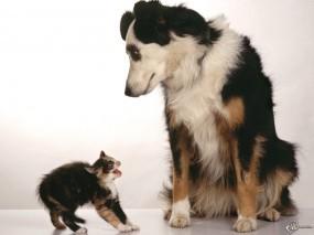 Обои Котенок испугался собачки: , Кошки