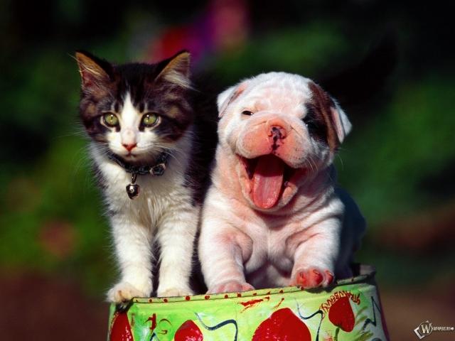 Котенок и шарпей