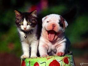 Обои Котенок и шарпей: , Кошки