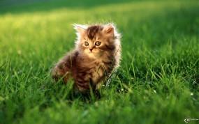 Обои Мяут на газоне: , Кошки