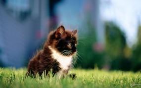Обои Красивый мяфс на травке: Трава, Котёнок, Кошки