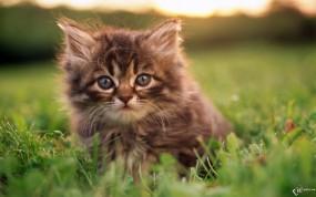Обои Пушистый котенок: Трава, Котёнок, Пушистик, Кошки