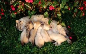 Обои Кормящая кошка: Кошка, Котята, Кошки
