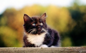 Обои Котенок ищет приключений: Усы, Котёнок, Черно-белый, Кошки