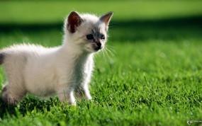 Обои Котенок на газоне: Газон, Котёнок, Кошки