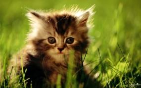 Обои Удивленный котенок: Котеночек, Удивление, Мордашка, Кошки