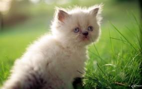 Обои Обиженый котенок: Котёнок, Обида, Пушистик, Кошки
